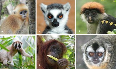 endangered-primates-may-get-help-from-facial-recognition